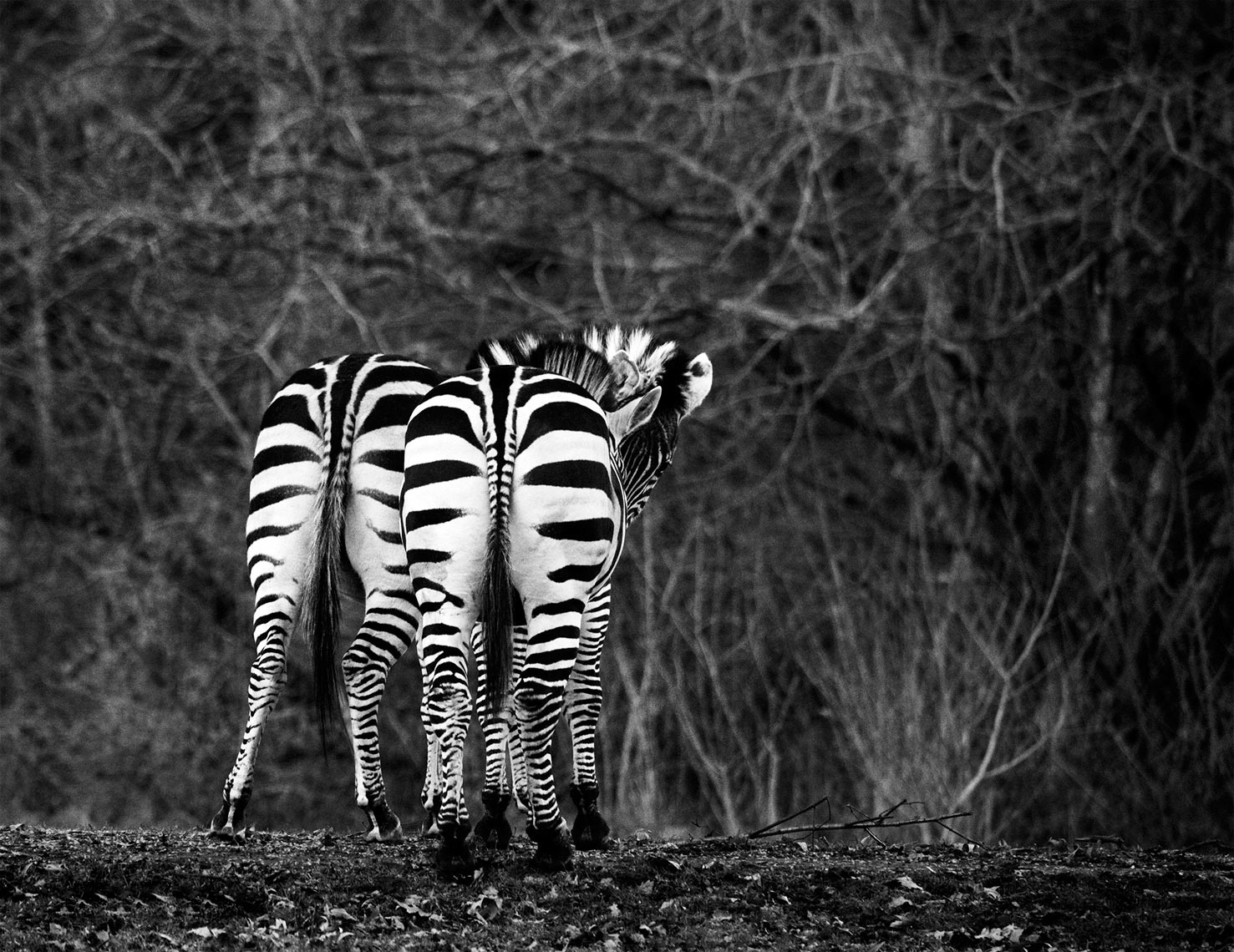 Zebras-in-Woodland-Park-Seattle